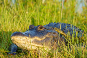 American Alligator basking in the morning light at Orlando Wetlands Park