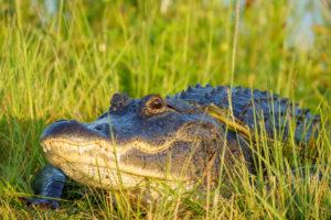 American Alligator basking in the morning light at Orlando Wetlands Park
