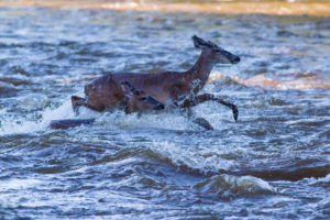 white-tailed deer swimming