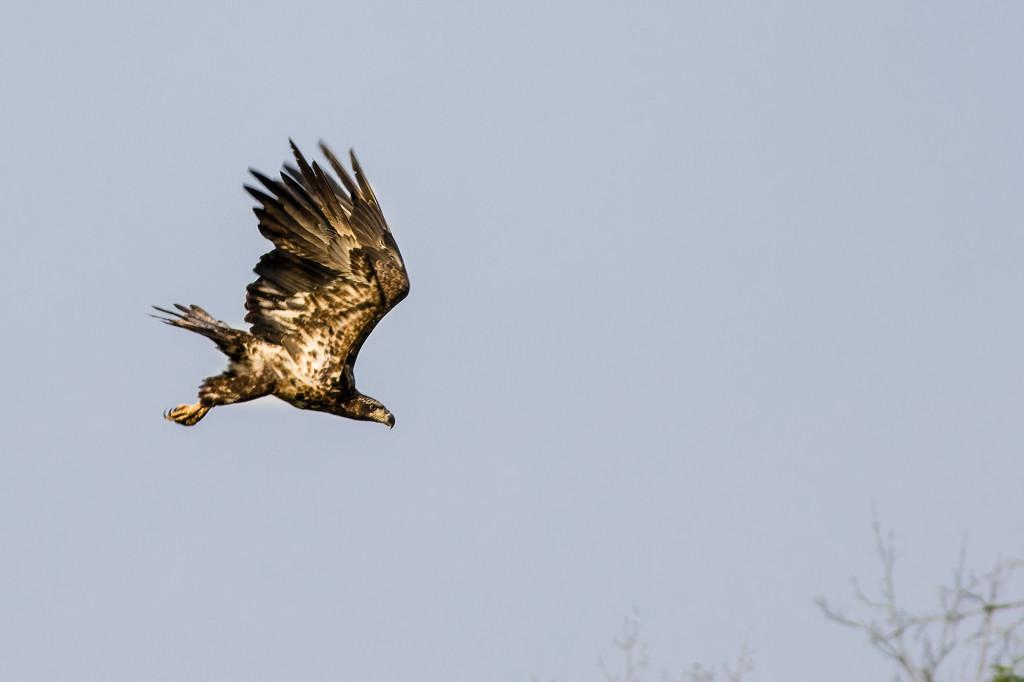 Juvinile Bald Eagle