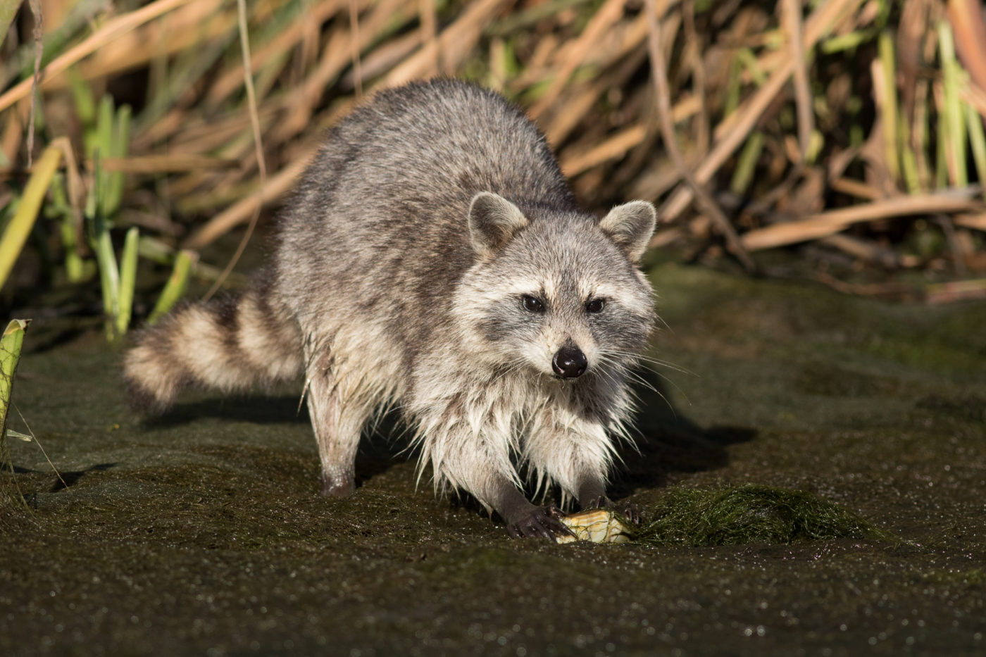 Raccoon eating a crab