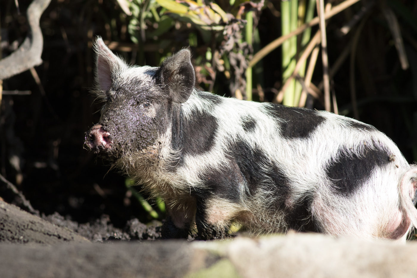 Feral Hog on Chassahowitzka