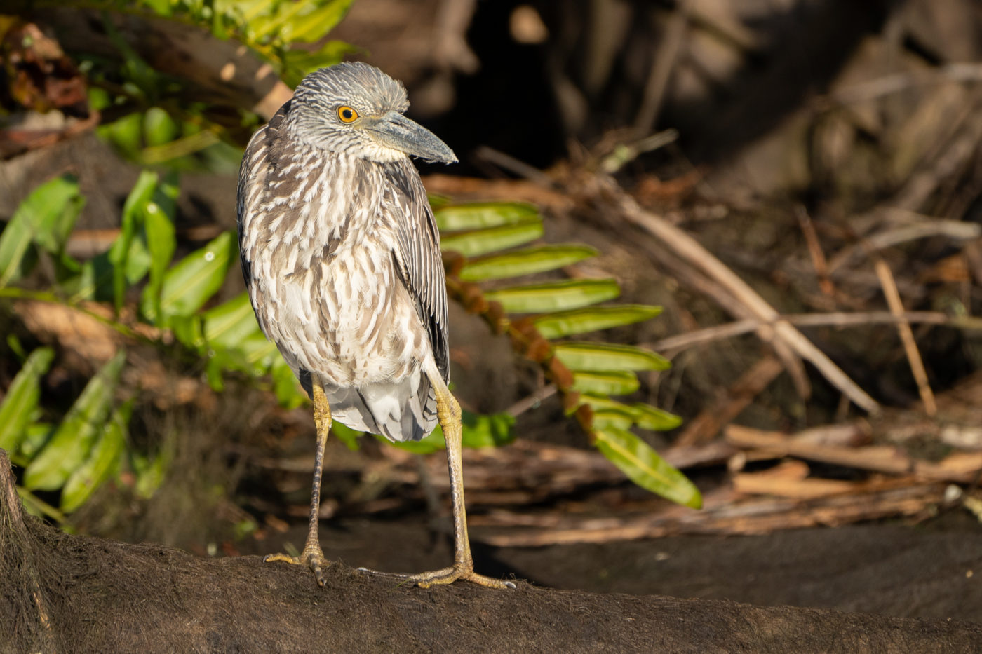 Juv. Yellow-crowned Night Heron