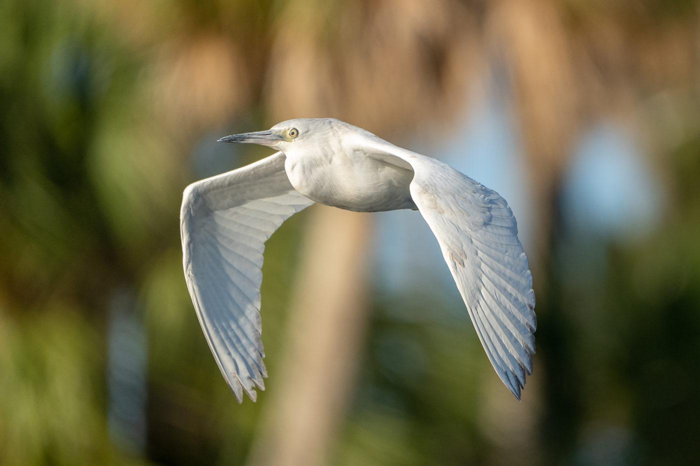 Juv. Little Blue Heron